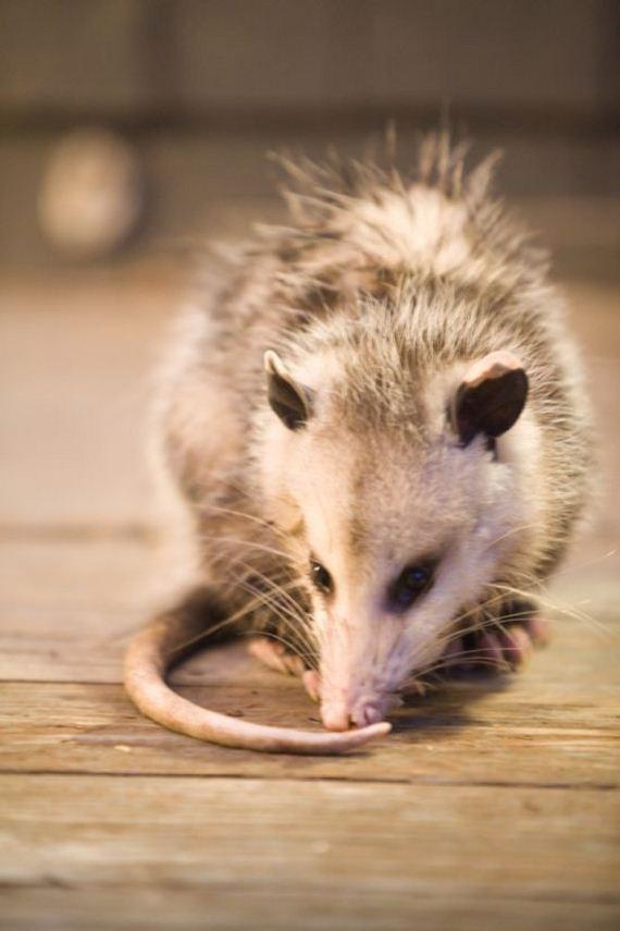 06-possum_01