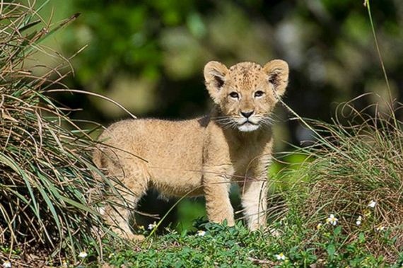 05-young_lion