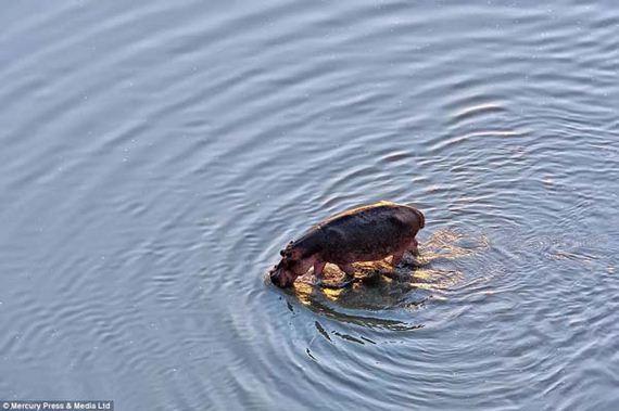 08-heroic-hippos