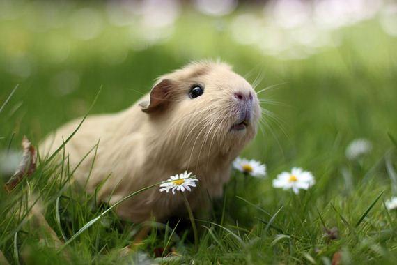 05-guinea-pig-booboo-lieveheersbeestje