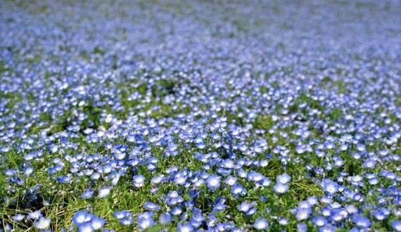 05-blue_flower_fields
