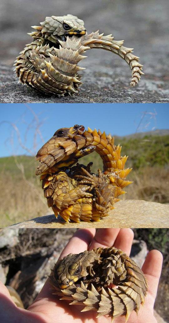 K Dragon Lizard Armadillo Girdl...
