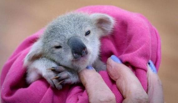 02-baby_koala