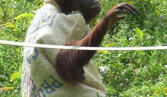 08-orangutan_01