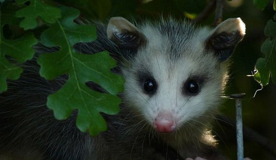 06-Times-Opossums-Were