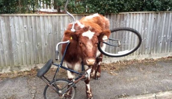 02-cow_got_bike