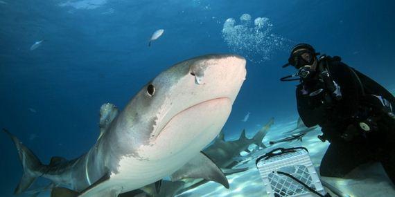 07-Tiger-Shark
