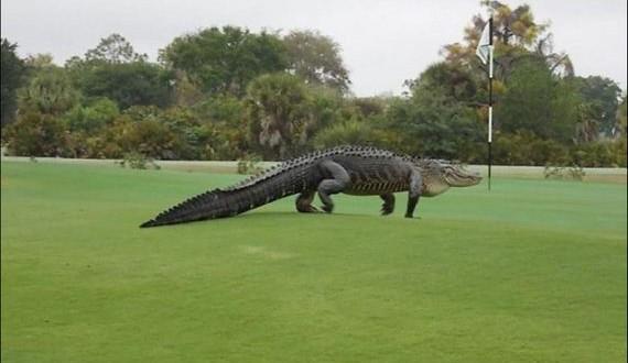 01-alligator_golf