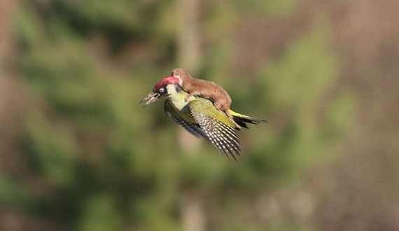 01-weasel_riding