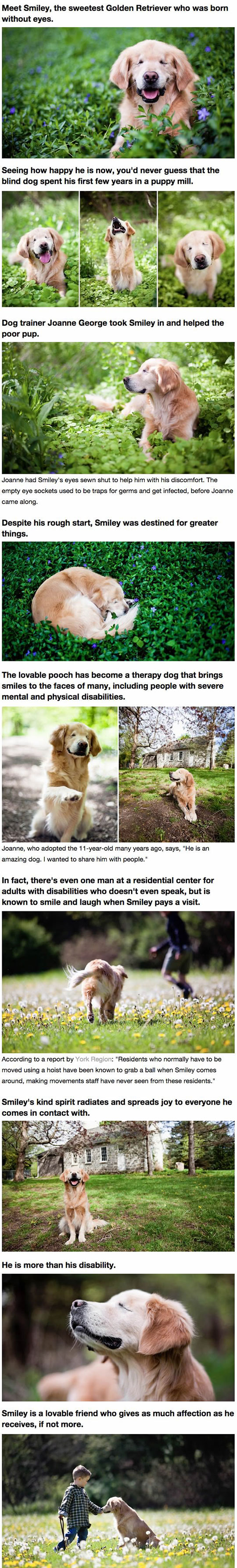 cute-blind-Golden-Retriever-story