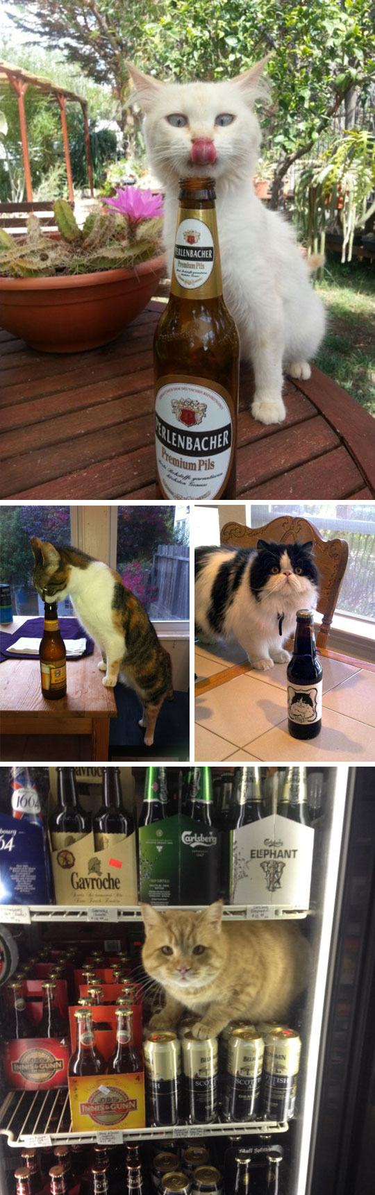 cute-cat-licking-beer-bottle
