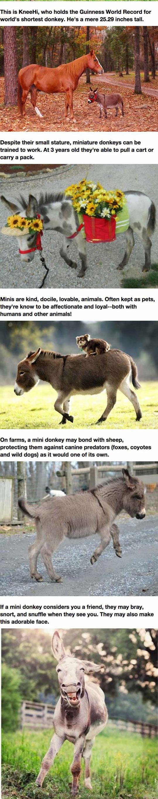 funny-mini-donkeys-dream-pet-kids
