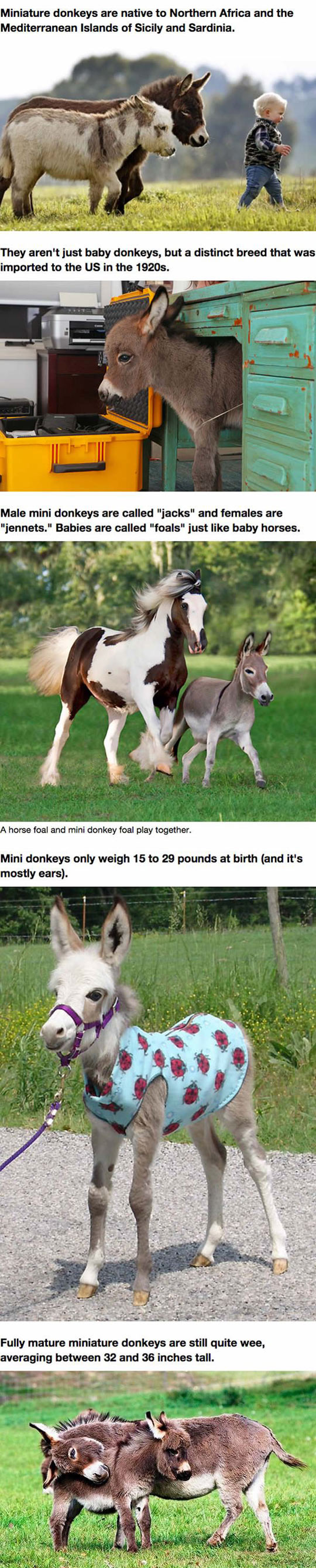 funny-mini-donkeys-dream-pet