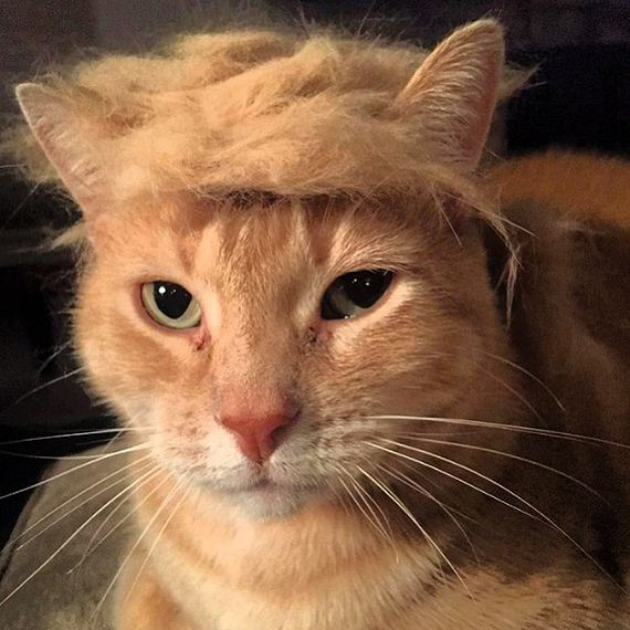 Affiliate Disclosure: Cats With Donald Trump Hair Is The Best Thing Ever