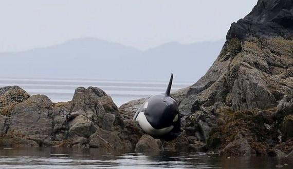 01-orca_saved