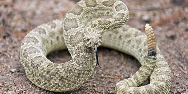 rattlesnake_00