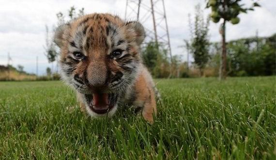 01-tiger_cub_dogs