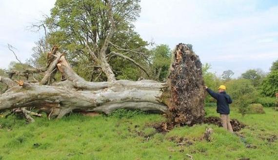 01-giant_tree_down