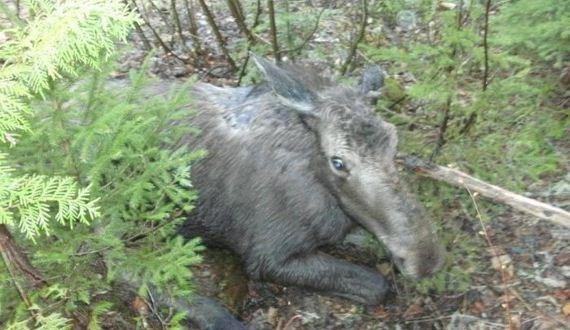 01-saved_moose