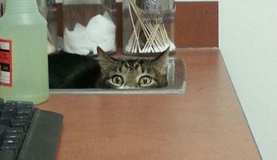 12-cats_hiding_from_vet