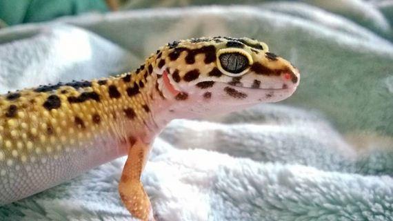 01-gecko_pregnancy