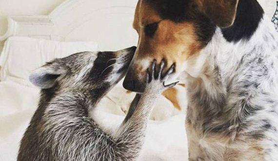 01-the_baby_raccoon