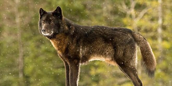 wolf_meets_a_labrador_00
