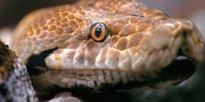 python_crocodile_00