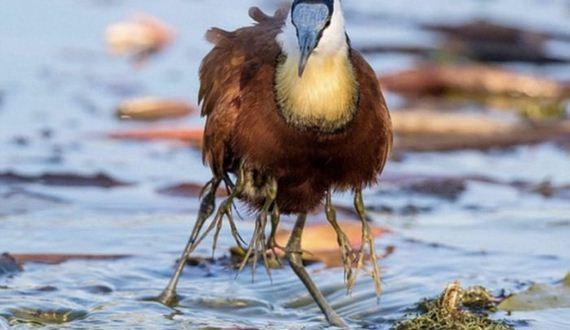 02-jacana_bird