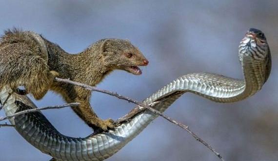 03-mongoose_and_snake