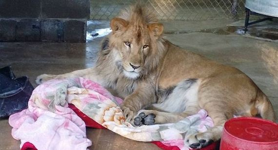 04-african_lion_named