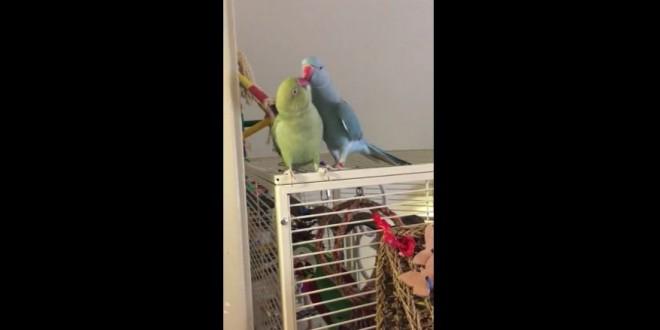 Parakeet-brothers