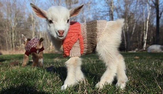01-baby_goats
