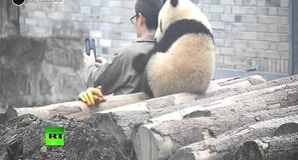 Panda-Taking-Selfie-With-A-Man-In-China
