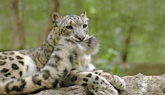 01-leopards_biting_tail
