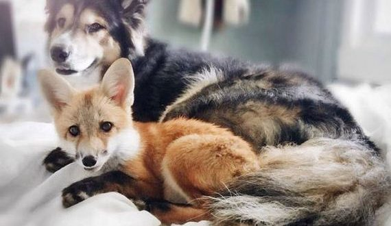 01-pet_fox_and_a_dog