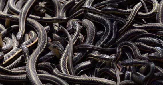01-this_large_gathering_of_snakes