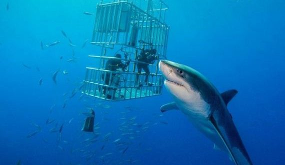 "STUNNING pictures have captured what could be the largest great white shark in the world. The huge predator comes face-to-face with two divers in a cage which it makes look miniscule in comparison. While under the circumstances of facing a predator of this size in the wild meant a measurement was not possible, a visual comparison with the official record holder, 20-foot long shark ""Deep Blue"", shows that this mighty shark is certainly a contender for the title of world's biggest shark. Other thrilling shots show great whites coming right for the camera with their large mouths wide open displaying their razor-sharp teeth and breaching the surface of the water to attack the bait."