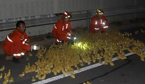 01-accident_with_ducklings