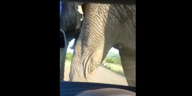 Elephant-scratches-itself-with-a-car