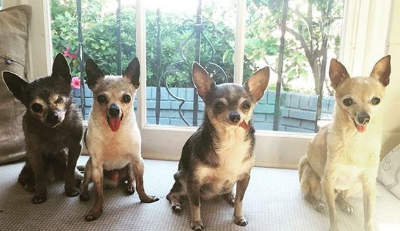 10-old_chihuahuas