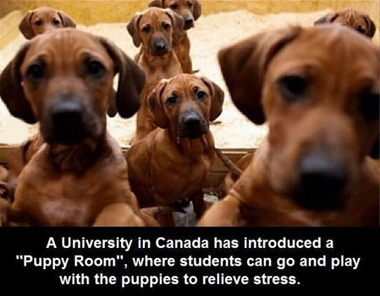 canada-college-puppy-room-stress