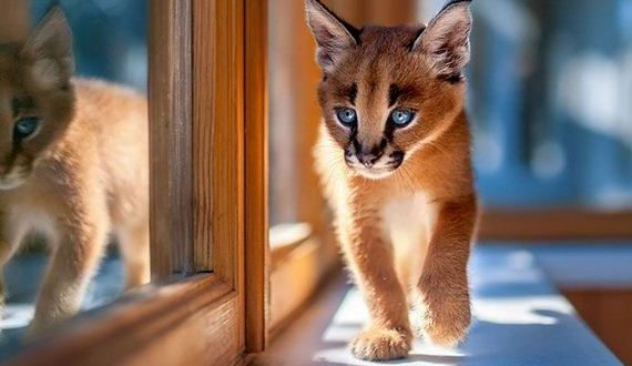 01-baby_caracal_kittens
