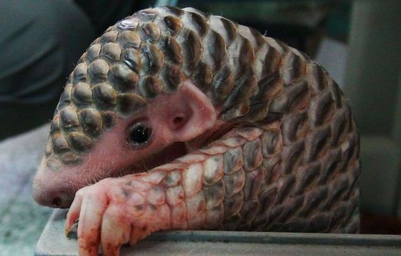 01-baby_pangolin_facts