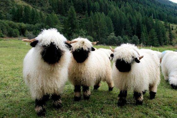 01-valais_blacknose_sheep