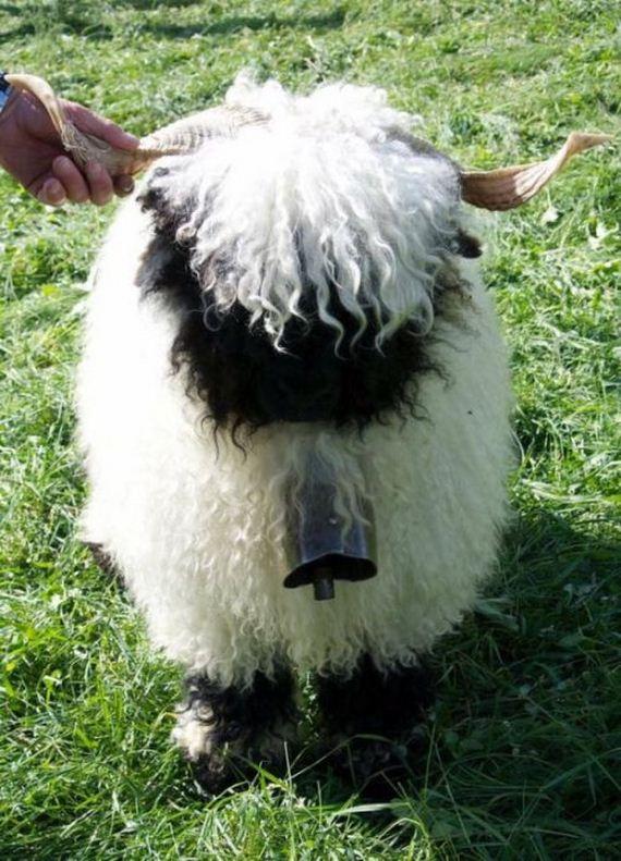 02-valais_blacknose_sheep