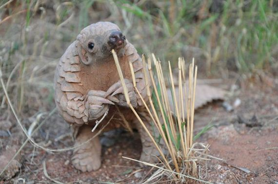03-baby_pangolin_facts