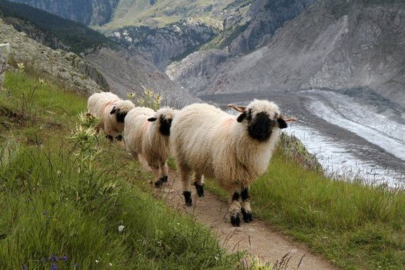 03-valais_blacknose_sheep