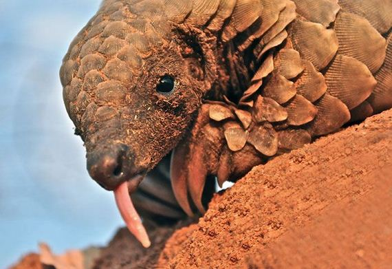 04-baby_pangolin_facts