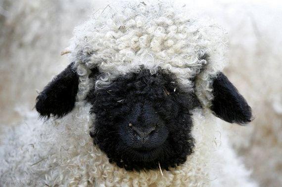 05-valais_blacknose_sheep